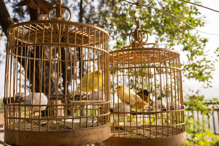cages: Yellow birds in cages
