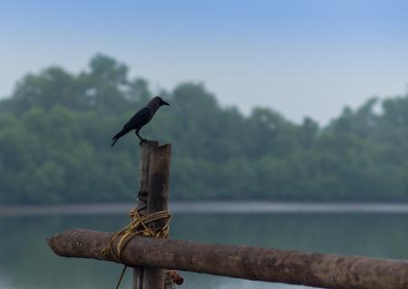 black headed: Common black headed gull in the Thailand