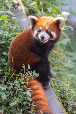 oso panda: Panda de naranja increíble en el parque de la ciudad china