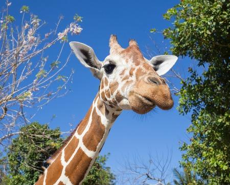 ungulate: Giraffe in front of Kilimanjaro mountain - Amboseli national park Kenya Stock Photo