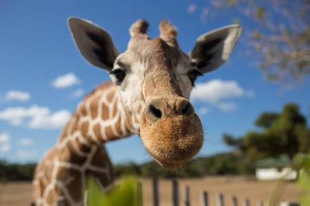 Giraffe in front of Kilimanjaro mountain - Amboseli national park Kenya Stock Photo