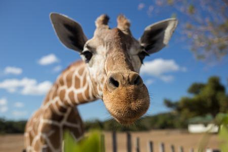 Giraffe in front of Kilimanjaro mountain - Amboseli national park Kenya Standard-Bild