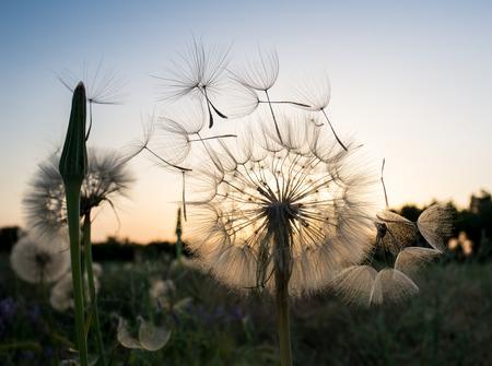 dandelion fuzz swelled drops on the sunset Standard-Bild