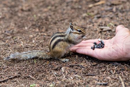 ardilla: Chipmunk que come la comida de la palma de la mano de un ser humano Foto de archivo