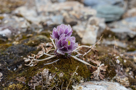 Alpine roses Mountain Flowers of the Alps in spring Stock Photo