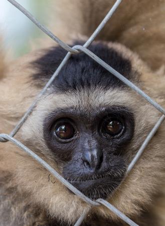 loveliness: gibbon,Gibbon in zoo cage,Beauty and loveliness of Gibbons,Colorful Gibbons,Looking Gibbons