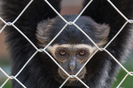gibbon: gibbon,Gibbon in zoo cage,Beauty and loveliness of Gibbons,Colorful Gibbons,Looking Gibbons