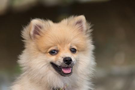 pom: Dog breed German Spitz in the Thailand Stock Photo