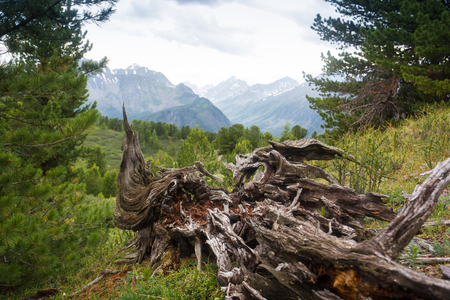 landscape with a weathered tree stump in a pine tree mountain forest, Altai, Russia Stock Photo