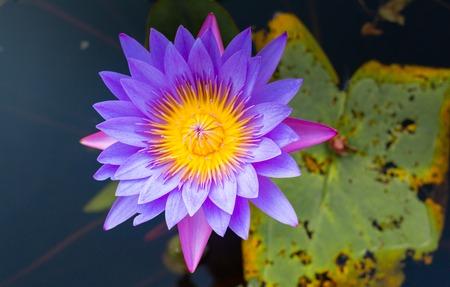 Lilac lotus in water in Bali Island