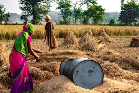 Hard Working Indian Woman Farmer wearing Saree, and working in her fields in the harvest season and is winnowing wheat grains from the Chaff in Traditional way. Banque d'images