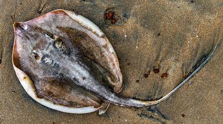 Closeup photo of Stingray fish also known as Whipray with its long tail, on beach sand washed up dead on shore due to consequences of marine pollution viz oilspill and excessive fishing. Imagens