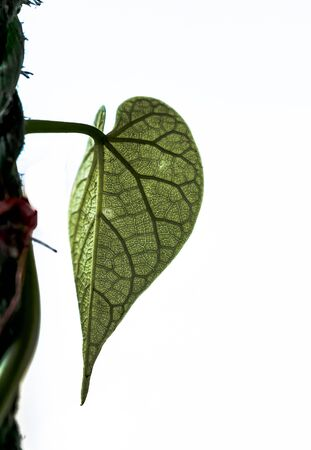 Beautiful detailed photo of fresh leaf of ayurvedic giloya plant, with visible skeleton of lateral veins and further division from botanist pov. Focus is on midrib of leaf with plane white background.