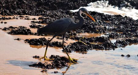 Scientific Name - Egretta Gularis, a coastal migratory bird is looking for its prey in the standing water left during low tide. Shot on one of the Goan beaches of western ghats of India