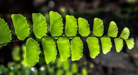 Maidenhair fern known as Adiantum Lunulatum or Adiantum Philippense similar to Adiantum sp is a Terrestrial fern or weed found in Moisture rich forest