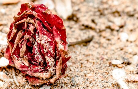 Close up of Dead Rose, red in color, all dried up and lying on the beach, with dry petals covered in sand. like rose on the grave of loved someone.
