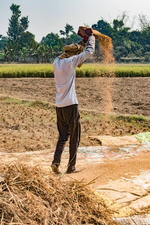 Vertical Photo of Indian Farmer working in crop field, is Hand Winnwoing the Chaff from Wheat Grains on hot sunny day of Summer. Hand Winnowing is traditional technique still used in rural agriculture Imagens - 144239866