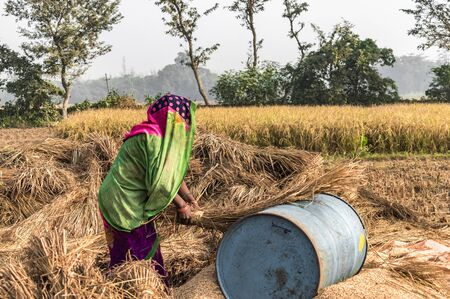 Woman farmer working hard as a debt bonded labor, in the fields of her landlord, on sunny day of harvest season. She is separating wheat from husk by threshing, a traditional separation method. Imagens - 144240304