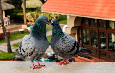 Beautiful photo of two cute pigeons having a nice chat together as a love couple in public park. Columba livia domestica aka feral pigeon and rock dove. Concept of love, marriage, intimate moments