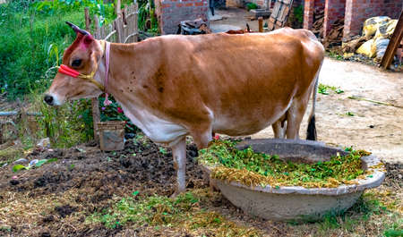Photo of Beautiful Cow, brown in color, been domesticated for milking purpose, is ruminating in peace after eating fodder from the Cow Trough. Cows are considered Holy in India by Hindu Community. Imagens