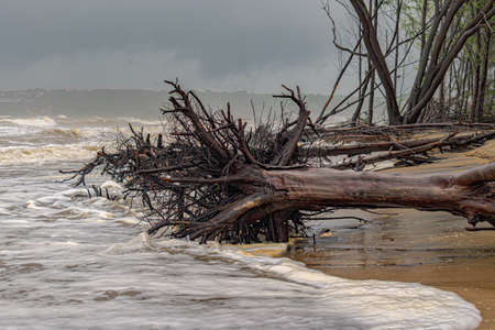 Climate Change Photo - Mature tree uprooted and lying on beach due to heavy cyclonic winds and soil erosion caused by rising sea level due to global warming, disturbing the ecology of coastal areas Imagens