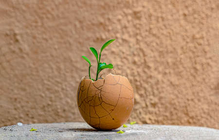 Very beautiful photo of newly sprouted lemon plant seedling emerging out of broken egg shell, so it may be transplanted easily. Matching background with shell makes photo perfect to use and eye candy.