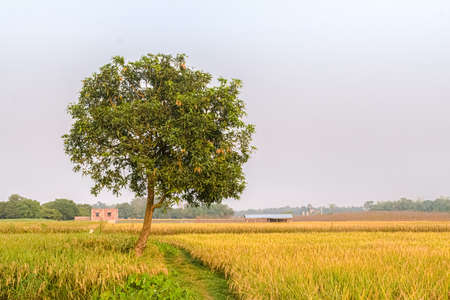 Beautiful landscape photo of agrarian farmland with lone mango tree and paddy field ready for harvesting. - Image.
