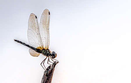 Amazing detailed macro photo of Dragonfly resting on wooden tip, with its wings wide open; on an isolated white background enabling user to see much details of wing veins and membranes. - Image.
