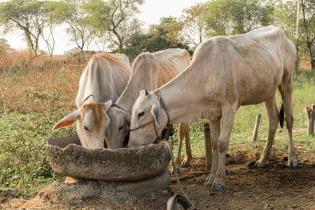 Beautiful photo of three white cows eating together with love from cemented trough with rural background of a typical Indian village. They are domesticated as they provide milk, dairy products, beef.