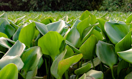 Beautiful green leaves of Water Hyacinth plant floating on water in foreground. It is ornamental but invasive species, a super spreader and pose threat to local aquatic biology for fishes and other.