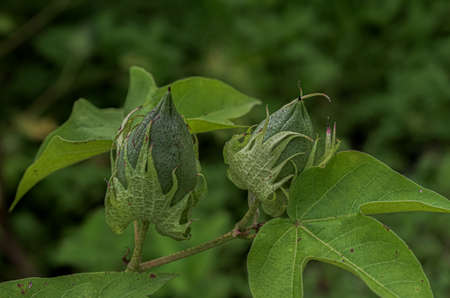 Amazing closeup photo of close and unopened cotton boll on plant, isolated on soft green background. It is one of the famous cash crops, is cultivated on black soil and ready for harvesting season. Imagens