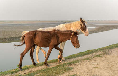 Beautiful photo of two young and healthy horses of different ethnicity, white and brown, strolling together at countryside in evening and posing with confident alongside a river bank. - Image.