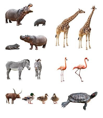 hippopotamus: Collage de los animales africanos delante de fondo blanco
