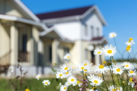 flowers white: Camomiles with blurred house Stock Photo