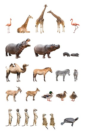 zebra: Collection of the zoo animals isolated on the white background Stock Photo