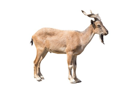 wild goat: Markhor isolated on the white background, The markhor is a large species of wild goat that is found in northeastern Afghanistan