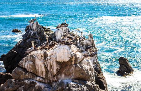 Bruine pelikanen die op de rotsen in Vina del Mar, Chili rusten