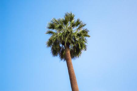 Fan palm tree on the blue sky background