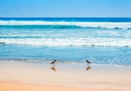 Beautiful waves of the pacific ocean with american oystercatchers