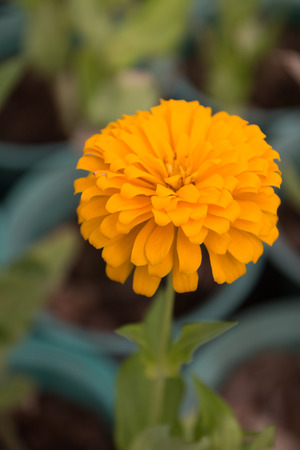 hawkweed: Yellow Flower Stock Photo