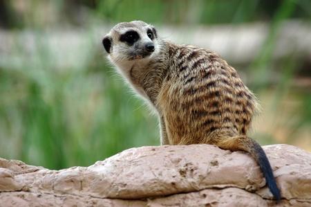 hillock: A meerkat on a the hillock