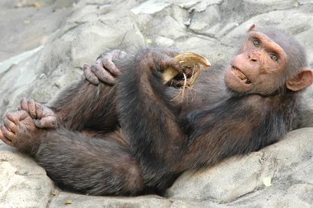 terrestrial mammal: A monkey eating coconuts