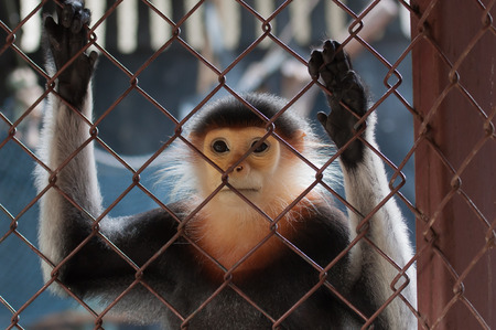 zoo: Langur jaspeado en el zoológico Foto de archivo