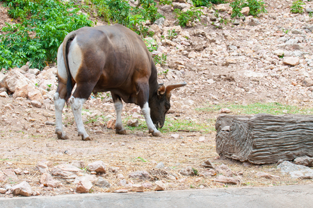 bos: Close up of Banteng (Bos javanicus),wildlife sanctuary in Thailand