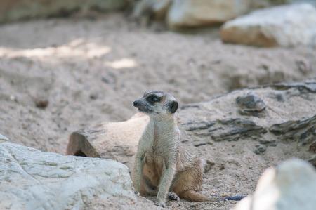 erdmaennchen: Meerkat find someting around