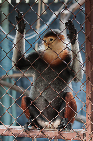 cage gorilla: Douc Langur in the zoo