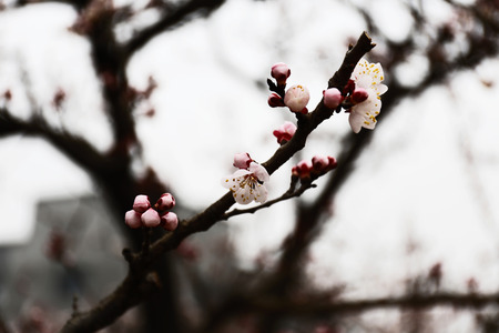 gully: Cherry blossoms Stock Photo