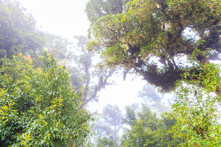 tropical evergreen forest: Tree and fog in forest
