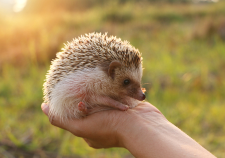 Person Holding Cute Hedgehog in Hand  Mammal Hedgehog in sitting Position Outdoors on Sunset sceenry and Woman Hand Carefully Holding Him