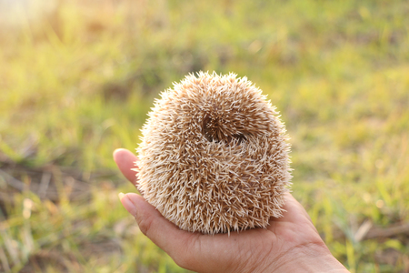 Person Holding Cute Hedgehog in Hand. Scared Spiny Mammal Hedgehog in Defence Position Outdoors on Sunny Day and Women Hands Carefully Holding Him Imagens